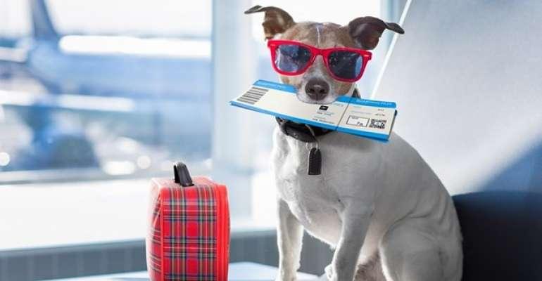 Conheça essas 6 dicas para transportar pets em avião